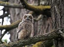 owl1a