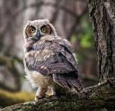 owl2a-XL