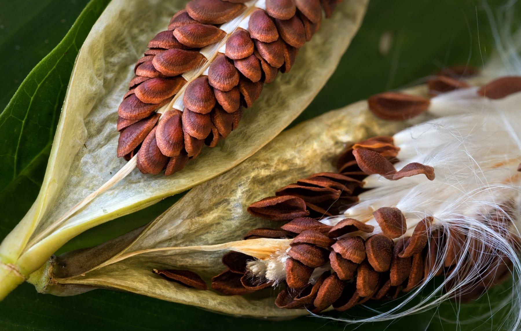 1_milkweed1