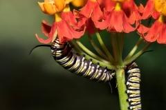 Monarch-casterpillars1