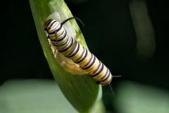 Monarch-caterpillars2
