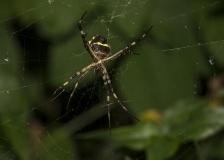 spider-arigope1