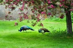 peacocks-sm