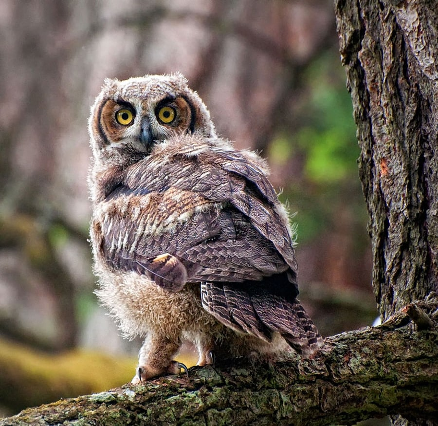 owl2a-sm