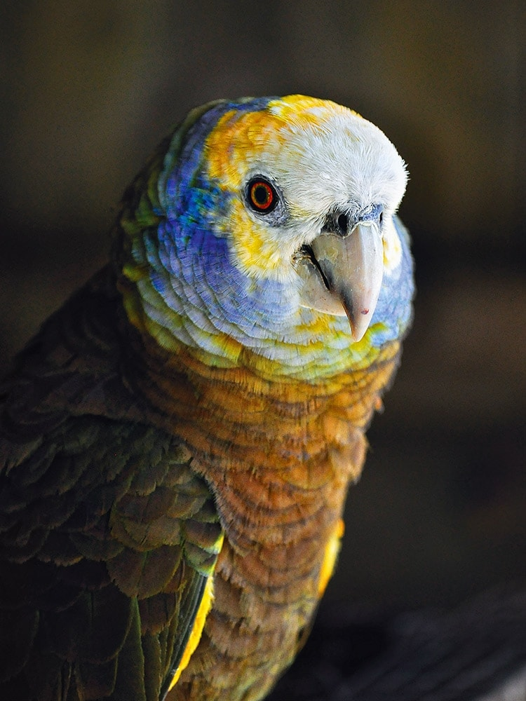 st-vincent-parrot