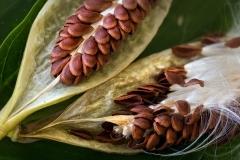 milkweed1