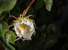 Orchid Cactus (Epiphylum oxypetalum) also called Lady of the Night, and (wrongly) Cereus. Its blooms open for one night only. Dominica, Eastern Caribbean, Sept. 2019