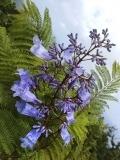Blue Jacaranda (Jacaranda mimosifolia) in bloom, Dominica, Eastern Caribbean. May 2019.