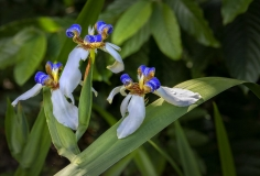 Walking Iris,  Neomarica gracilis.This beautifully scented flower opens for a single day on, but new bloom forms every few days during its season. april 2020